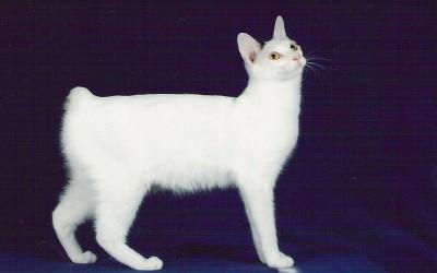 Lucruri interesante despre pisica japoneza fara coada