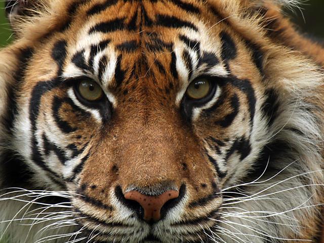 Lucruri interesante despre tigrul sumatran