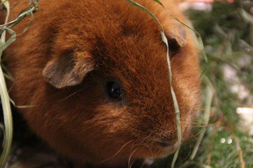 Despre ingrijirea porcusorilor de guinea